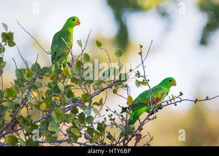 Reg-winged Parrot (Aprosmictus Erythropterus) - Stockfoto