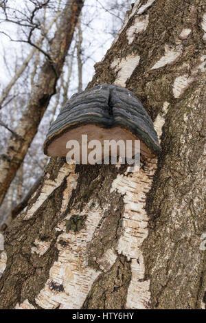 HUF-Pilz (Zündstoff Fomentarius) wächst auf Birke Stamm in Suffolk - Stockfoto