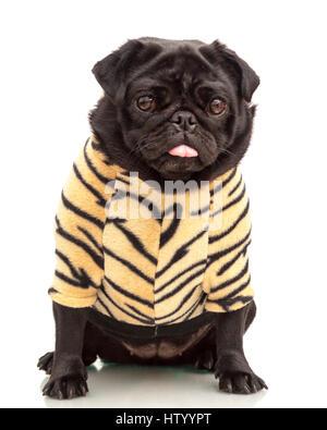 Kleine schwarze Mops Welpen Hund gekleidet in Tiger print Hoodie pet Kleidung auf weißem Hintergrund isoliert Model - Stockfoto