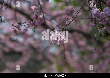 St James Park, London, UK. 16. März 2017. Bildnachweis: Dinendra Haria/Alamy Live-Nachrichten - Stockfoto