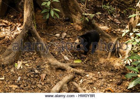Eine Sonne Bären Bornean Sun Bear Conservation Center in Malaysia Borneo. - Stockfoto