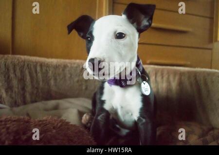 BRIDGEND, GROßBRITANNIEN. Julie Wort, läuft von Bridgend, Wagadog Inn, sowie viele Hunde aus Animal Rescue Zentren - Stockfoto