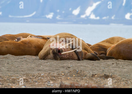 Walrösser liegen am Ufer auf Spitzbergen, Arktis - Stockfoto
