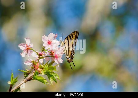 Wunderschöne Kirschblüte mit Schmetterling (Papilio Machaon) bei Schabarum Regional Park, Rowland Heights, Los Angeles - Stockfoto