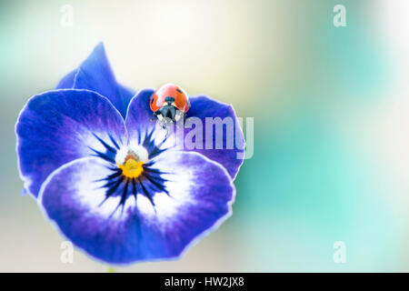 Nahaufnahme eines blauen Stiefmütterchen Blume und 7-Punkt Marienkäfer, einem weichen Hintergrund genommen - Stockfoto