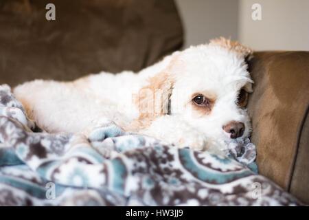 Weißer und brauner pelzigen Hund kuschelte sich mit einer Decke auf der Couch. - Stockfoto