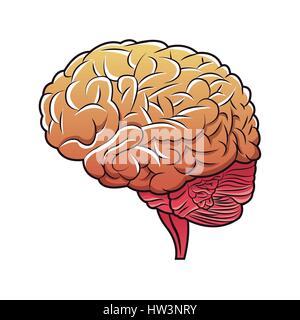 menschliche Gehirn Struktur Bild - Stockfoto