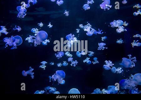 viele blaue Medusen - Quallen gesichtet, auf schwarz