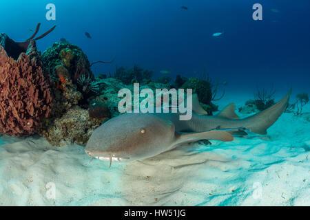 Ammenhai, ginglymostoma cirratum, Tiger Beach, Bahamas - Stockfoto