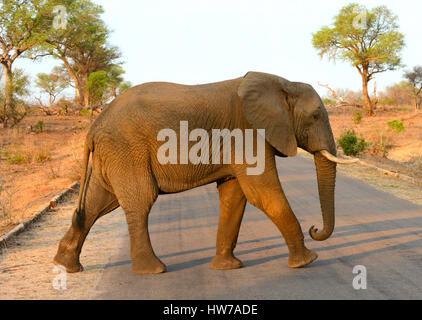 Einsamer Elefant zu Fuß über die Straße im Krüger Nationalpark in Südafrika mit dem warmen Schein des Lichts am - Stockfoto