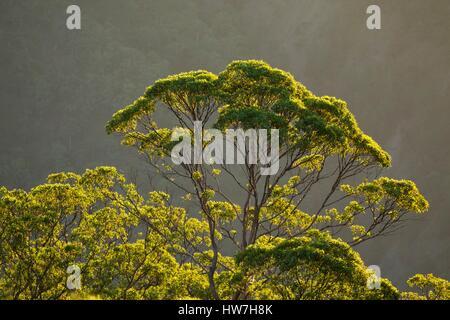Indonesien, Ost-Nusa Tenggara, West-Timor, South Central Timor Regency, Nenas, Gunung Mutis Naturschutzgebiet, Eukalyptus - Stockfoto
