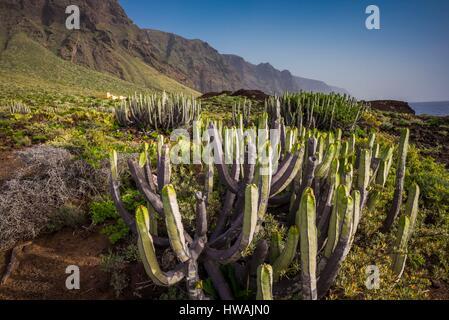 Spanien, Kanarische Inseln, Teneriffa, Punta de Teno, Küsten Kaktus - Stockfoto