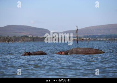 Nairobi, Kenia. 19. März 2017. Foto aufgenommen am 19. März 2017 zeigt zwei Flusspferde in Lake Naivasha, Kenia. - Stockfoto