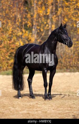 schwarzes Pferd Porträt außen mit bunten Herbstlaub im Hintergrund - Stockfoto
