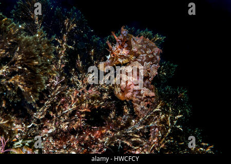 Kurz-snouted Seepferdchen (Hippocampus Hippocampus) Atlantik, Azoren, Portugal - Stockfoto