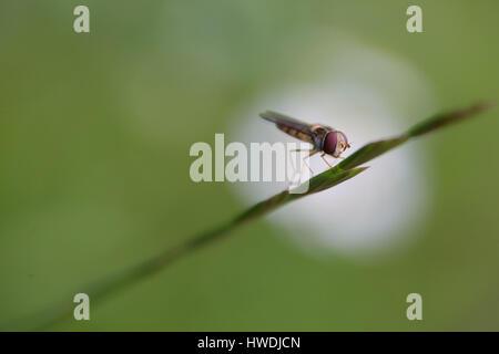 Ein Hoverfly ruht auf einem Grashalm mit einem Fokus Blume im Hintergrund als ein Scheinwerfer. - Stockfoto