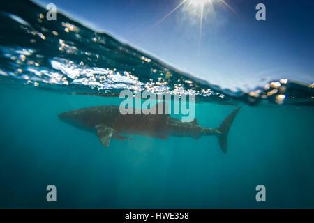 Walhai (Rhincodon Typus) - Stockfoto