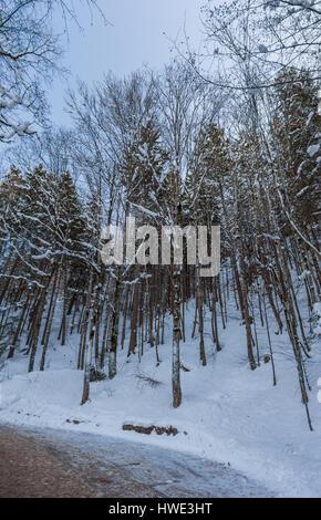 Schneebedeckte Bäume auf einer frühen Wintermorgens - Stockfoto