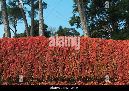 roter Efeu an der Wand im Herbst - Stockfoto