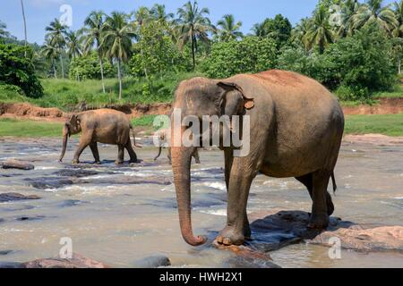 Sri Lanka, Sri Lanka, Pinnawala Elefanten (Elephas Maximus Maximus) von Pinnawala Elefanten Waisenhaus baden in - Stockfoto
