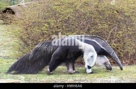 Großer Ameisenbär, Deutschland, Berlin, Zoologischer Garten, Tierpark, Zoo, kontrollierten Bedingungen, Säugetier, - Stockfoto