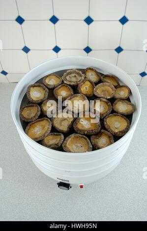 Shiitake-Pilze. starb, Lentinus Edodes, Shiitake-Pilzen, trocken, Lentinus Edodes essen Champignons, Shiitakepilze, - Stockfoto