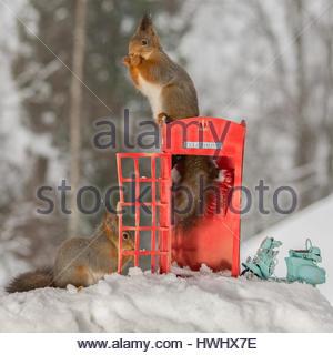Nahaufnahme von roten Eichhörnchen auf ein Feld mit einer anderen neben anrufen und ein Motorrad im Schnee - Stockfoto