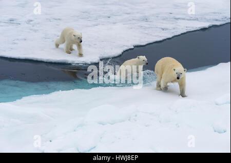 Mutter Eisbär Ursus Maritimus, mit zwei Jungen schwimmen und springen über ein offenes Eis Floe, Insel Spitzbergen, - Stockfoto