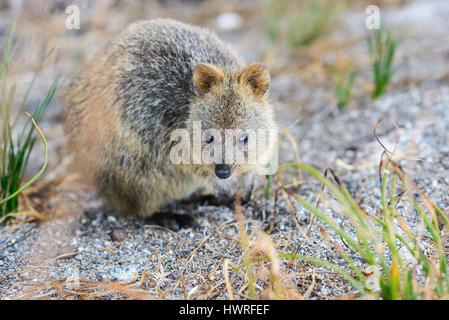 Quokka auf Nahrung suchen, Rottnest Island, Perth, Western Australia, Australia, Australien, Down Under - Stockfoto