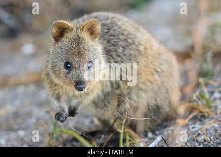 Blick in die Kamera, Rottnest Island, Perth, Western Australia, Australia, Australien, Down unter Quokka - Stockfoto