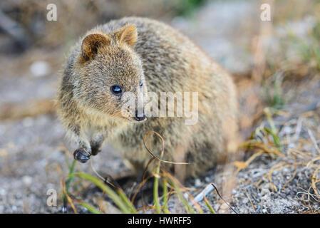 Zwerg Känguru, Quokka, Rottnest Island, Perth, Western Australia, Australia, Australien, Down Under - Stockfoto