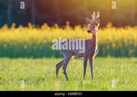Wilde Rehe in einem Feld bei Sonnenuntergang - Stockfoto