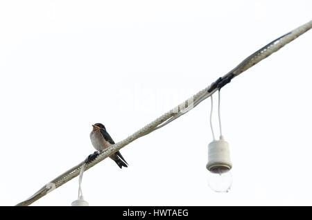 Einsamer Vogel auf Telefonleitung in Mallorca, Balearen, Spanien im ...