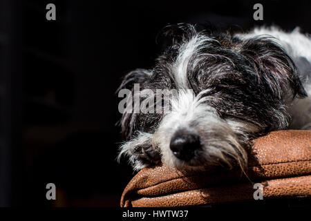 ein schwarzen und weißer Hund (Kreuzung zwischen Jack Russell und Bichon Frise) entspannt in eine Welle des Lichtes beim Ausruhen auf dem sofa
