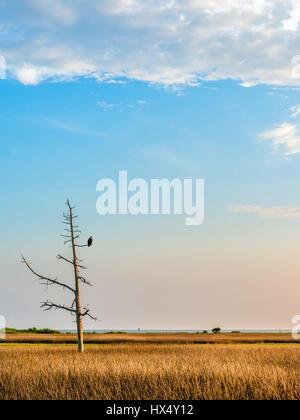 Weißkopf-Seeadler in einem toten Baum bewacht ein Weizenfeld und der Chesapeake Bay in Maryland - Stockfoto