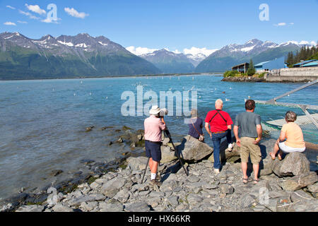 Besucher betrachten & fotografieren Seelöwen & Möwen, Lachs laichen, Chugach Bergkette mit Gletschern im Hintergrund, Ende Juli, Solomon Gulch