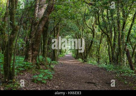 Wanderweg durch den Wald von Laural in das Anaga-Gebirge auf Teneriffa, Spanien. - Stockfoto