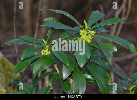 Wolfsmilch Laurel - Daphne Laureola, im Cotswold Wald - Stockfoto