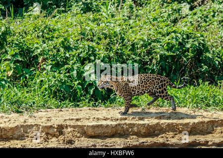 Mutter Jaguar nachlaufen Yacare Caiman für sich und ihre zwei jungen, entlang des Flusses Cuiaba im Pantanal Mato - Stockfoto
