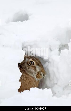 Braun Feldhase (Lepus Europaeus). Erwachsenen in seiner Form im Schnee. Deutschland - Stockfoto