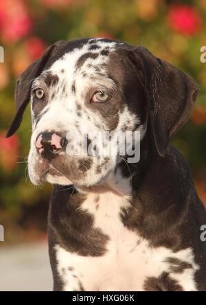 Mischlingshund (Dogo Canario x Great Dane). Porträt eines Welpen (10 Wochen alt). Deutschland - Stockfoto