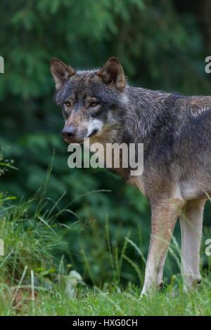 Europäischer Wolf (Canis Lupus), aufmerksames Verhalten - Stockfoto