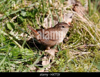 Zaunkönig (Troglodytes Troglodytes) - Stockfoto