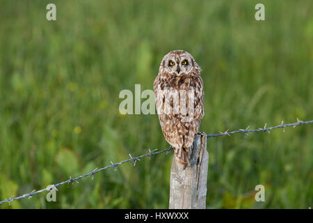 Kurze Eared Eule; ASIO Flammeus auf Post Orkney Single; Schottland; UK - Stockfoto