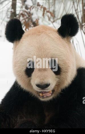 Kopfporträt der große Panda (Ailuropoda Melanoleuca) kauen auf Bambus im Schnee, gefangen im Jahr 2000 geboren. - Stockfoto