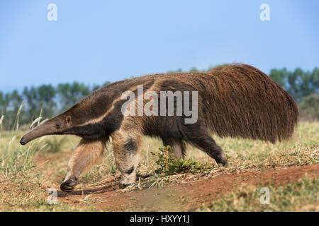 Erwachsenen Ameisenbär (Myrmecophaga Tridactyla) auf Nahrungssuche. Südlichen Pantanal Moto Grosso do Sul, Brasilien. - Stockfoto