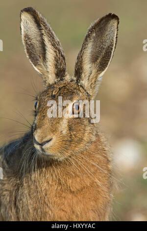 Kopfporträt der Feldhase (Lepus Europaeus) in der Nähe von Holt, Norfolk, England, UK. März. - Stockfoto