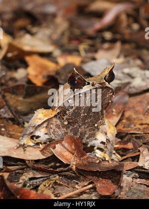 Bornean gehörnten Frosch (Megophrys Nasuta) im Regenwald Stock, Danum Valley, Sabah, Borneo, September. - Stockfoto