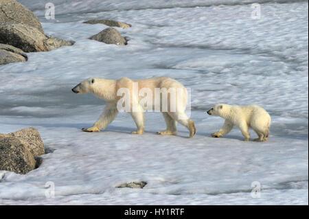 Eisbär (Ursus Maritimus) Mutter und Neujahr Jungtier, 6 Monate, Spitzbergen, Norwegen, Juli 2007. Vom Aussterben - Stockfoto