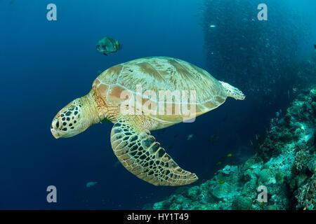 Suppenschildkröte (Chelonia Mydas) mit Riff-Fischen und Schulbildung Bigeye Buchsen / Makrelen (Cranax Sexfasciatus) - Stockfoto